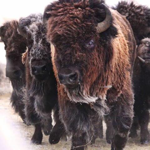 Bison Belong